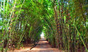 Hutan Bambu Penglipuran - Bali