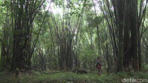 Hutan Bambu Petung 1000 - Mojokerto