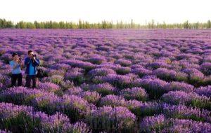Padang lavender di Cunha, São Paulo, Brasil