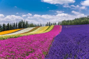 Padang lavender di Furano, Hokkaido Jepang