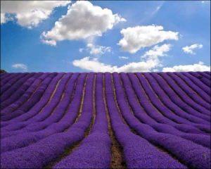 Padang lavender di Hertfordshire, Inggris